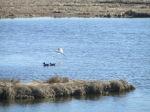 Snowy Egret over Shovelers