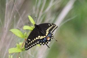 "Black Swallowtail Butterfly Photo by Linda Rovder Taken at ""The Meadows"" (Cape May, NJ)"