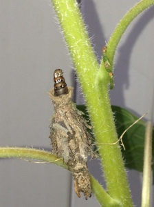 The nasty little bugger that is a bagworm.