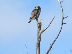 Hawk Owl curve branch