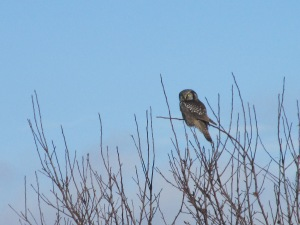 Hawk Owl in Brush